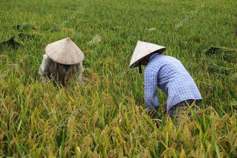 Vietnam; ejemplo de cómo el arroz y la fruta pueden salvar un país