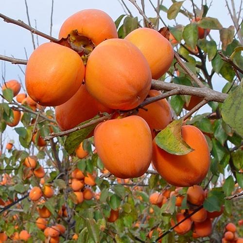 Caqui, la fruta más sana de producción no barata