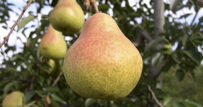 Nuevo listado de frutas que entran a China incorpora pera chilena