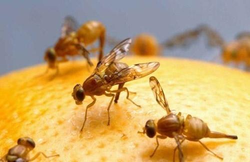 Las efectivas trampas con las que combaten a las moscas de la fruta