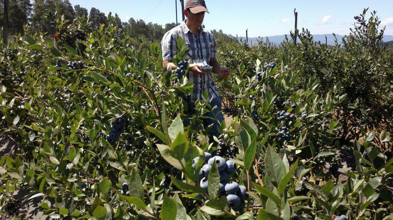 La renovación varietal impulsa la producción de arándanos en Chile