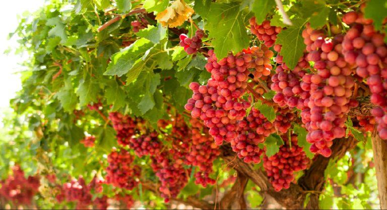 La montaña rusa de la uva chilena de exportación