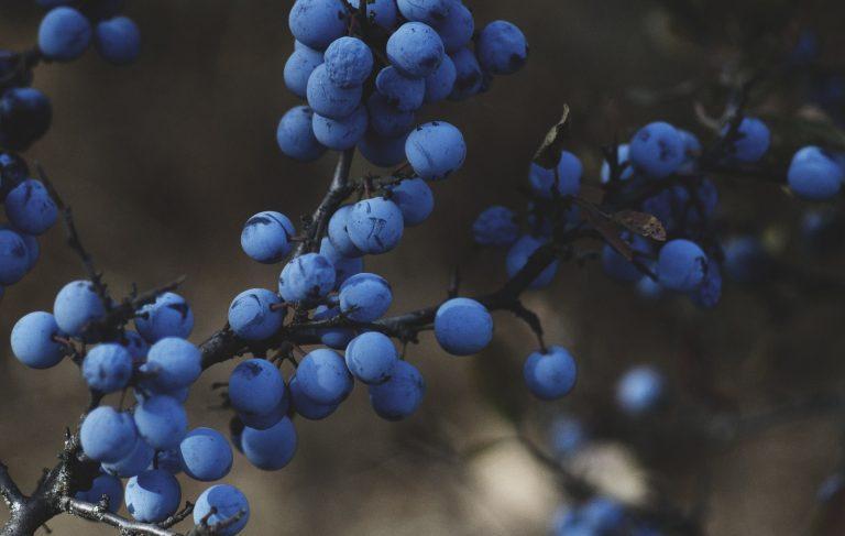 """""""Blueberries"""", guía práctica para cultivo del arándano"""