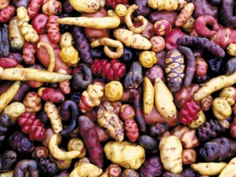 Tubérculos andinos; papas con historia y sabor