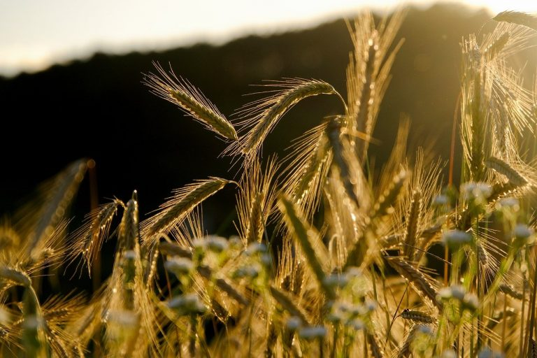 Cereales, azúcar y aceites disparan precios mundiales de alimentos