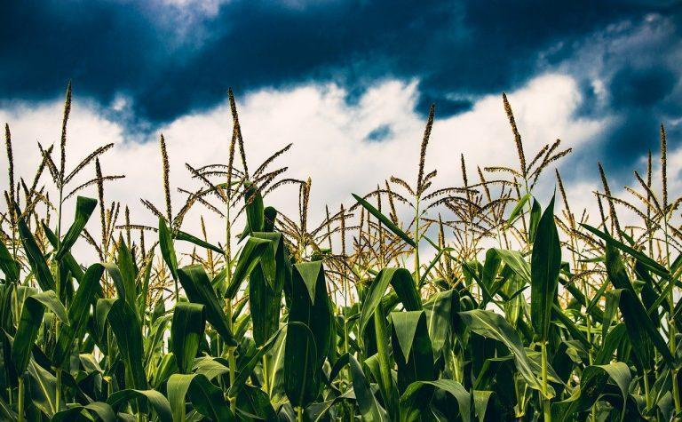 Cultivos y exportaciones; las alzas y bajas del trigo y el maíz